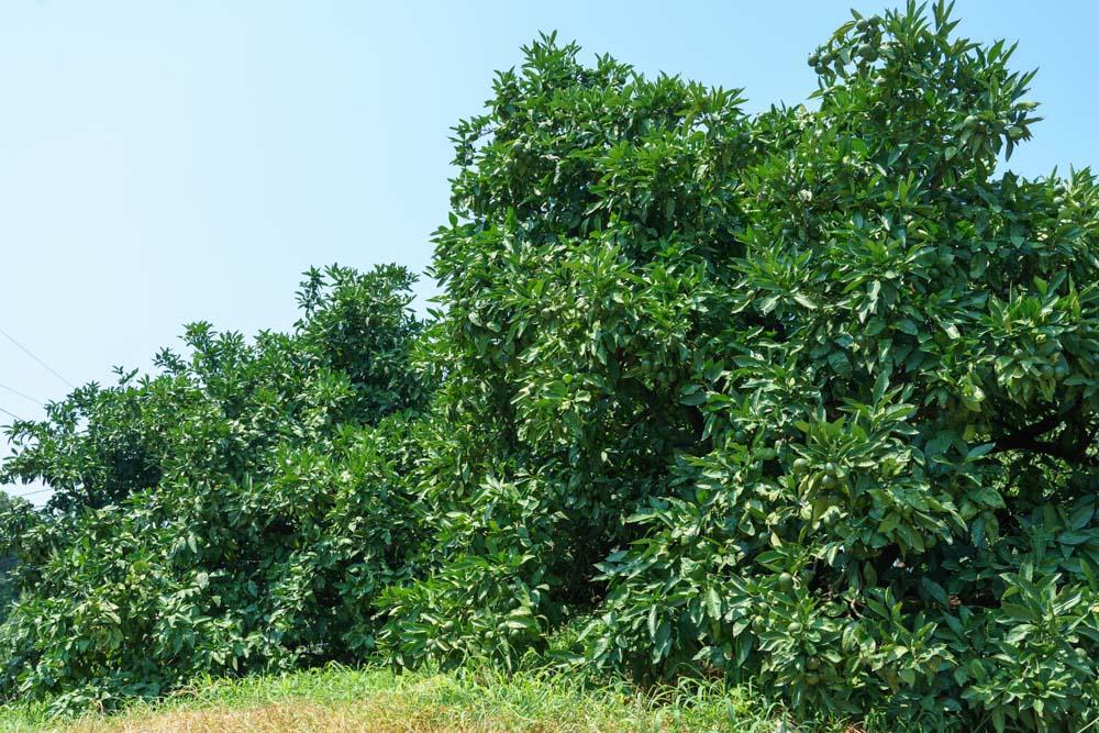 樹齢60年のみかんの樹。早津さんより年上だ。